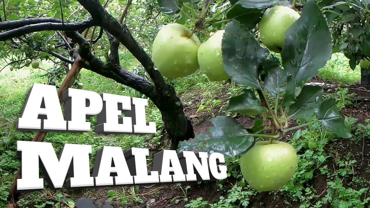 petik apel malang - jual rumah malang batu